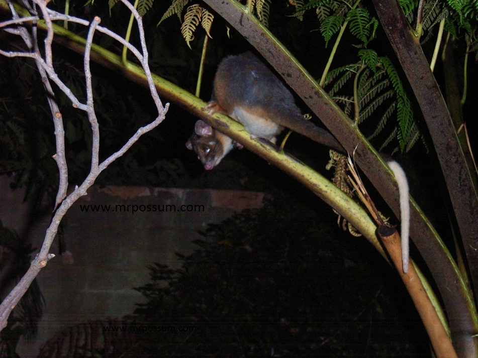 possums in your roof