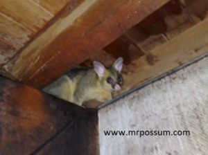 Mr Possum removal Springwood, Brisbane