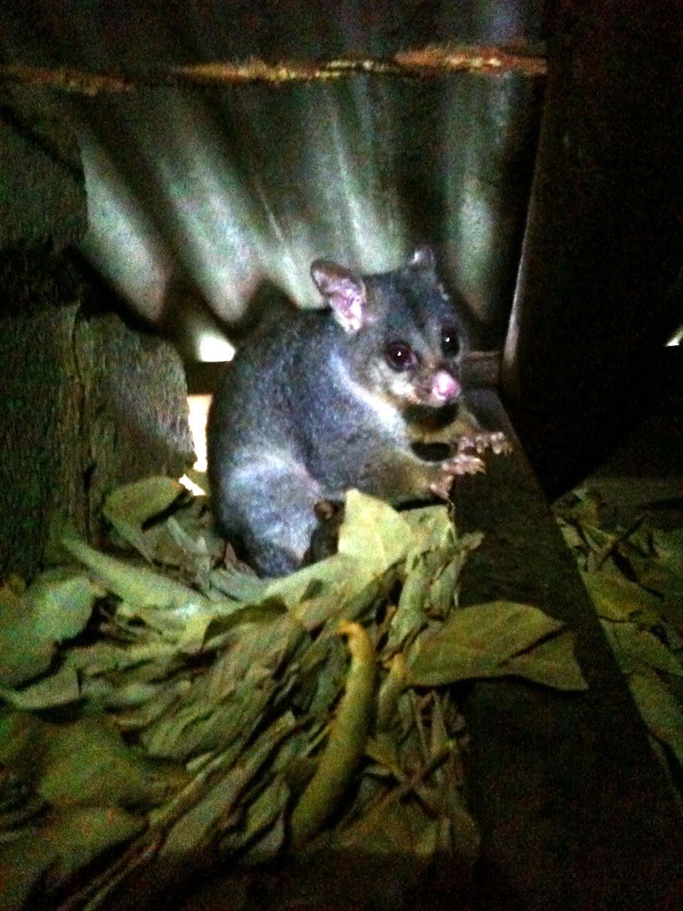 Female Possum in roof