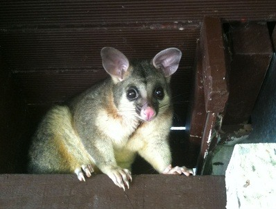 Gold Coast Possum Removal