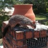 Sydney Possum Removal