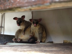 possum removal gold coast 2  possums in roofs possums fighting possum damage